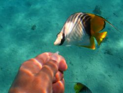 Self Shot this butterfly fish coming in to investigate po... by Farhad Edibam 